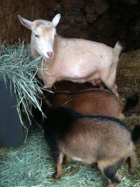 fuzzy goats