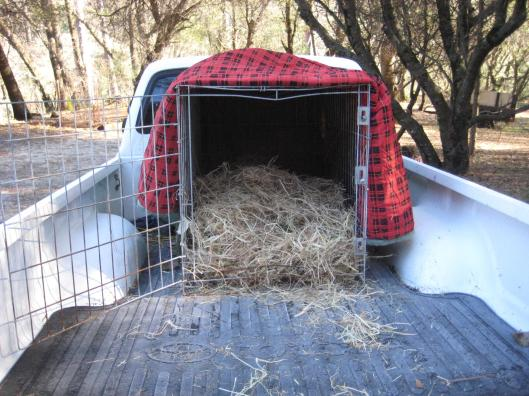 It's 22 degrees at our house, and 17 degrees up at the breeder's place, so to keep Peaches warm on the journey, we wrapped the cage in old sleeping bags and filled it up with fresh, dry straw.