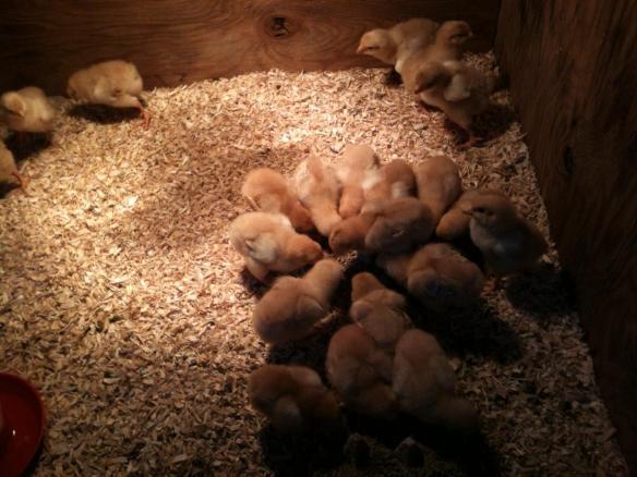 Chicks day 4
