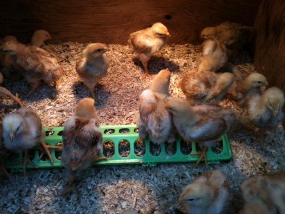 Chicks day 14
