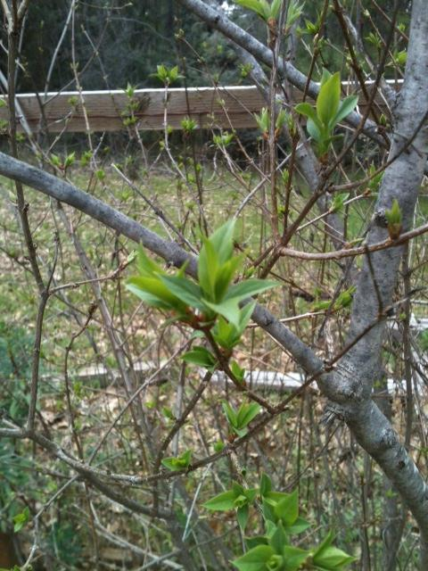 The lilac sprouted its leaves on Saturday. From bare twigs to green leaves in a day!