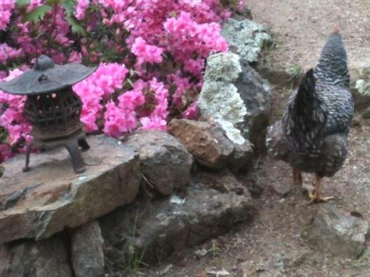 This is not one of the sickies, but she was the only hen willing to pose for a photo. Now there's a happy chicken butt!