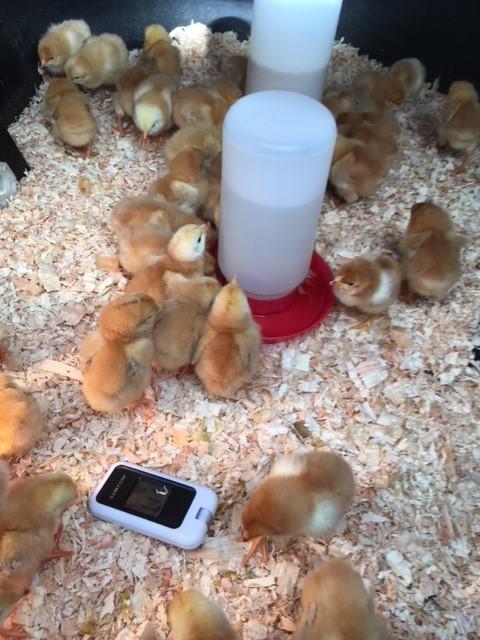 chicks 2018